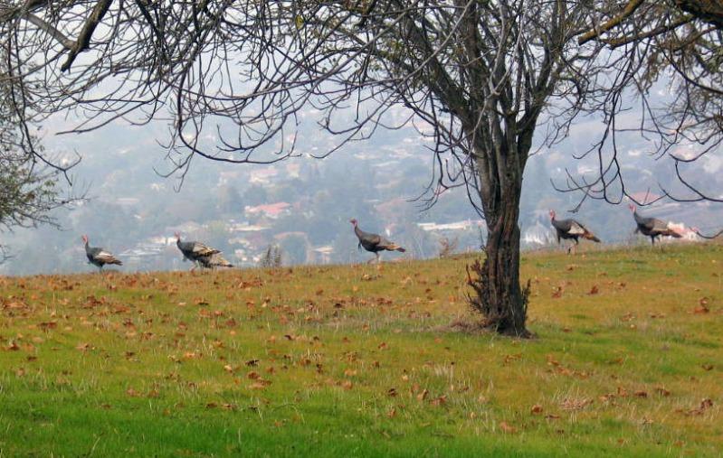 turkeys2 (2)